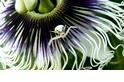 擅捕昆蟲的蟹蛛,為何會跟豬籠草變成好飯友?