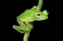 真「蛙」版科米蛙 就在哥斯大黎加