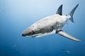 怪異動物問與答:最大的大白鯊有多大?
