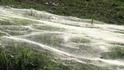數百萬隻幼蛛築起巨幅絲毯