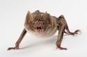 無法吃苦的吸血蝙蝠