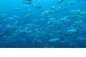 每日酷知識:製造沙灘的鸚哥魚