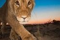 喀拉哈里之獅:瞧那雙眼睛