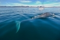 進入航道的藍鯨正飽受船襲威脅