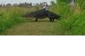 宛如侏儸紀!直擊野外巨鱷悠閒散步