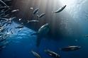海中之王:大白鯊