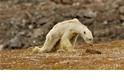 飢餓北極熊影片的問與答