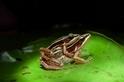 寂靜的春天——最後一隻台北赤蛙?