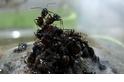 洪水來了,螞蟻如何合作渡過難關?
