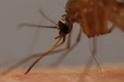 身懷六把「劍」:蚊子是這樣吸血的!