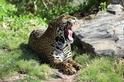 美洲豹撐過冰河時期的秘訣是……
