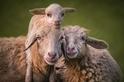 為什麼山羊總是怪怪的?