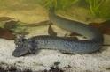 佛羅里達發現超大蠑螈新物種