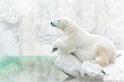 雪白世界:北極熊