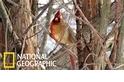 罕見的「半公半母」北美紅雀