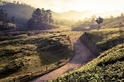 閃耀晨光:清早的茶園