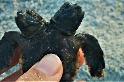 海灘驚見雙頭海龜寶寶