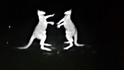 快打袋鼠:警方紅外線攝影機拍到打架袋鼠