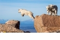 艾凡士峰上的小山羊跳躍練習