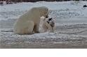 當北極熊遇上雪橇犬 雙方反應簡直「反差萌!」