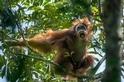 身棲危枝的紅毛猩猩