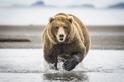 阿拉斯加棕熊