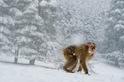 影像藝廊:非洲最後獼猴
