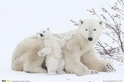 北極熊媽咪與北極小熊