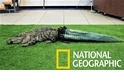 斷尾鱷魚「史塔布斯先生」的新尾巴