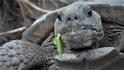 「搖頭晃腦」的地鼠龜也瘋搖滾? 人家只是在保護巢穴啦!