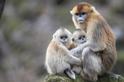 為何這種猴子要相互幫忙養嬰兒?