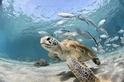 魚群跟隨著烏龜
