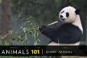 101動物教室:大貓熊兩三事