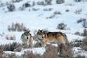 該繼續保育大野狼嗎?一場政策與科學的拉鋸戰