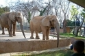換一次牙胖一次,大象一輩子要胖五次