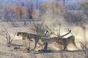 奔跑的獵豹