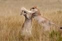 拳鬥中的幼獅