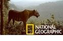 「剩不到600隻……」蘇門答臘虎的棲地正快速喪失中
