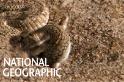 炙熱沙漠中「守株待蜥」的侏噝蝰