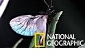 這種小蟲不但屁股長了鉗子,還有摺紙般的翅膀