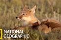 貓咪大小的草原狐為何如此難拍?
