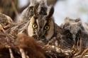 長耳鴞貝拉