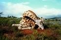 瀕危的長頸鹿