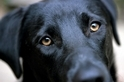 為了與我們溝通,狗狗演化出了水汪汪的眼睛