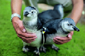 首見人工授精企鵝