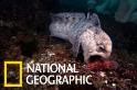 鰻狼魚:長得有點像「薩諾斯」的細心父母