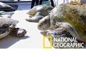 科學家「跳海抓龜」,只為研究波斯灣的神祕綠蠵龜種群