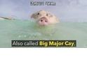 這座無人島是「豬豬」的天堂!