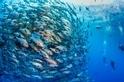 成群的白斑笛鯛