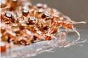 直擊螞蟻如何形成巨大的救生筏在洪水中存活